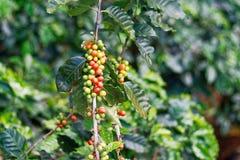 在束树的新鲜的咖啡豆 免版税库存照片