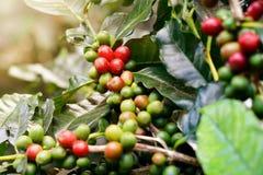 在束树的新鲜的咖啡豆 免版税图库摄影