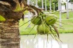 在束的椰子 库存图片