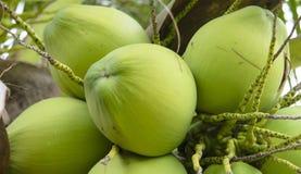 在束的椰子 免版税库存照片
