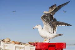 在条板箱的鲱鸥(鸥属Argentatus)着陆用新近钓鱼的扇贝填装了 库存照片