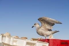 在条板箱的年轻鲱鸥(鸥属Argentatus)着陆用新近钓鱼的扇贝填装了 免版税库存照片