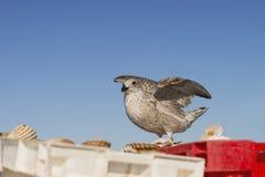 在条板箱的年轻鲱鸥(鸥属Argentatus)着陆用新近钓鱼的扇贝填装了 免版税图库摄影