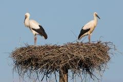 在巢的二只鹳。 免版税库存照片