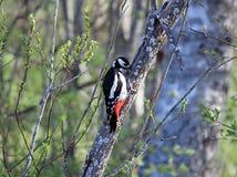 在杨柳丛林的极大的被察觉的啄木鸟 库存图片