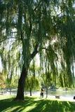 在杨柳之下的结构树 图库摄影