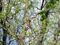 在杨柳树的长耳朵猫头鹰 免版税库存照片