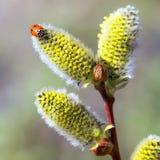 在杨柳花的瓢虫 免版税图库摄影