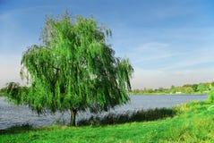 在杨柳附近的湖 图库摄影