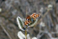在杨柳,早期的春天的蝴蝶 免版税图库摄影