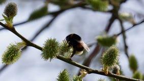 在杨柳黄色开花的土蜂  免版税图库摄影