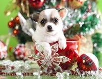 在杯子的奇瓦瓦狗 免版税库存照片
