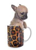 在杯子的小狗奇瓦瓦狗 免版税库存照片