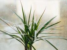 在杯子罐的龙血树属植物 免版税库存照片