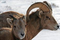 在杰克逊怀俄明附近的大角野绵羊 库存照片
