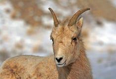 在杰克逊怀俄明附近的幼小大角野绵羊 免版税库存图片