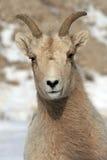 在杰克逊怀俄明附近的幼小大角野绵羊 库存图片
