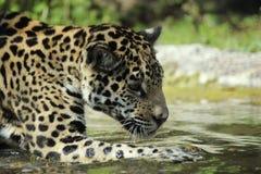 在杰克逊维尔动物园的幼小捷豹汽车,杰克逊维尔, FL 免版税库存图片