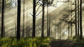 在松木的光芒 库存照片