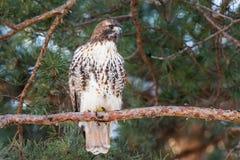 在松树栖息的红被盯梢的鹰 免版税库存图片
