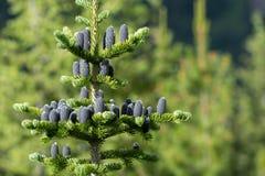 在松树的多个黑松锥体 免版税图库摄影