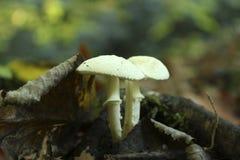 在板料下的蘑菇 库存图片