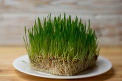 在板材健身饮食健康饮食的绿色麦芽 免版税库存图片