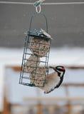在板油饲养者的美丽的啄木鸟 库存照片