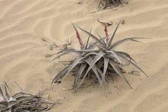 在极端天旱的Bromelie在沙子, Caral,秘鲁适应 免版税库存照片
