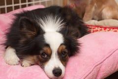 在枕头的狗 免版税库存图片