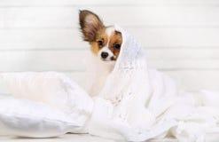 在枕头的逗人喜爱的小狗 图库摄影