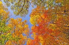 在林冠层的秋天颜色 库存照片