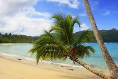 在林孔海滩, Samana半岛的倾斜的棕榈树 库存照片