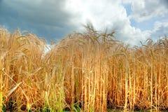 在林肯郡,英国定调子被映射的夏天大麦庄稼 库存图片
