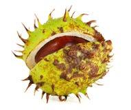 在果壳的欧洲七叶树 库存图片