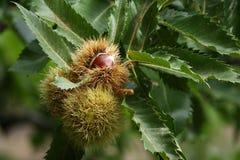 在果壳的欧洲栗木 免版税库存照片