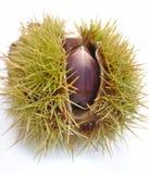 在果壳的Chesnut 库存图片