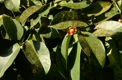 在果子开花的季节的山竹果树 库存照片