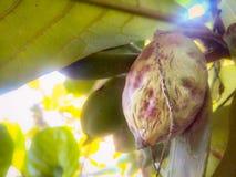 在果子的树 免版税库存图片