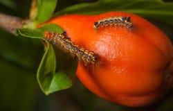 在果子的蠕虫 图库摄影