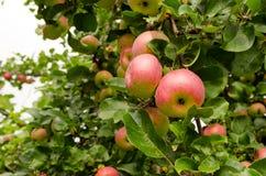 在果树分行的成熟苹果吊。 健康食物 免版税库存图片