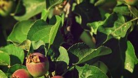在果树园树特写镜头叶子的年轻未成熟的苹果  影视素材