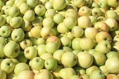 在果树园的新鲜的黄色苹果 图库摄影