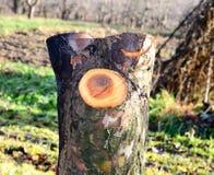 在果树园砍的老苹果树 免版税库存图片