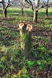 在果树园砍的老苹果树 免版税库存照片