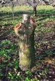 在果树园砍的老苹果树 免版税图库摄影
