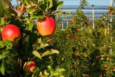 在果树园耕种的有机红色苹果 库存图片