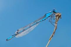 在枝杈侧视图的蓝色蜻蜓 库存图片