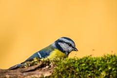 在枝杈后掩藏的五颜六色的男性青山雀盖由青苔 免版税库存图片