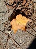 在枝杈和褐色叶子中的金黄叶子 库存照片